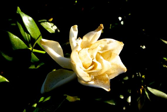Gardenia de autumn