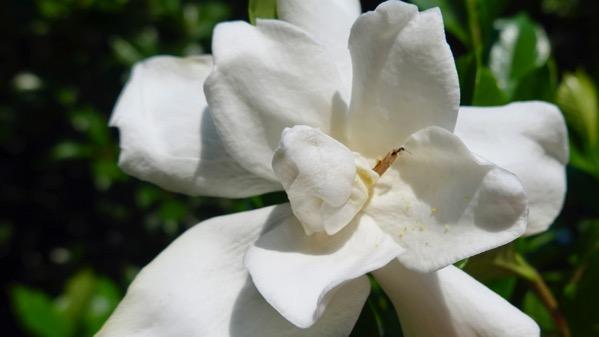 Gardenia fancy