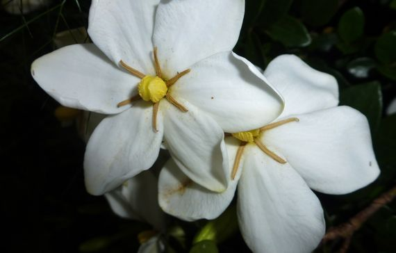 Gardenia gorgeousness