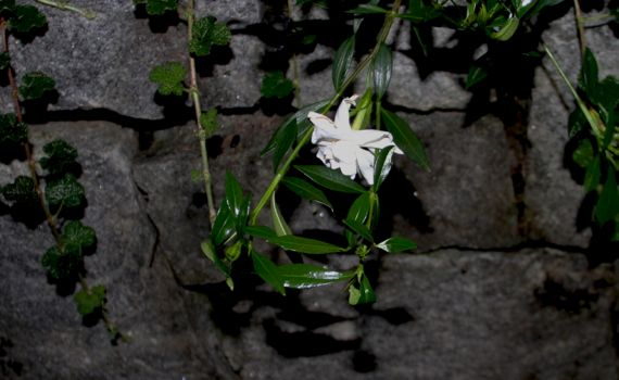 Gardenia minature wall