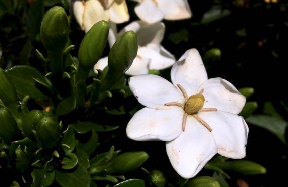 Gardenia n buds