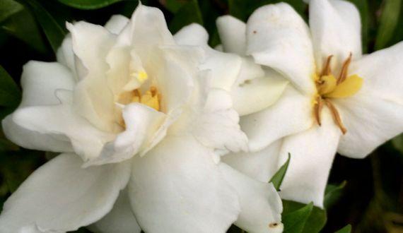 Gardenia twins