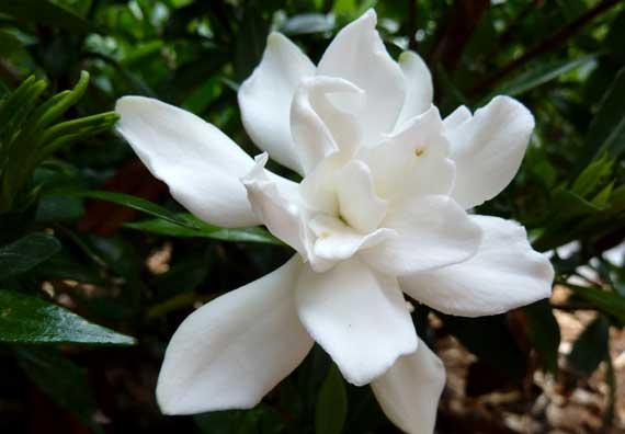 gardenia_white_generous.jpg