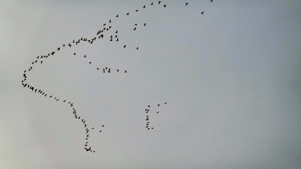 Geese formationing