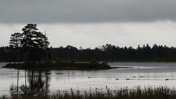 Geese grey refuge
