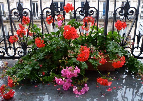 Geraniums in deux colors