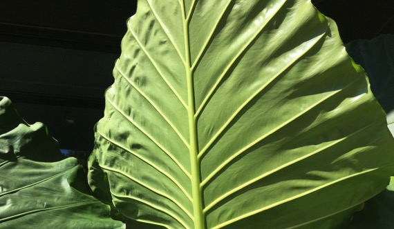 Giant leaves ABG