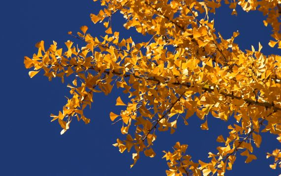 Ginkgo branch against sky