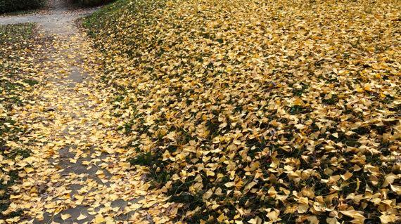 Ginko leaf dump