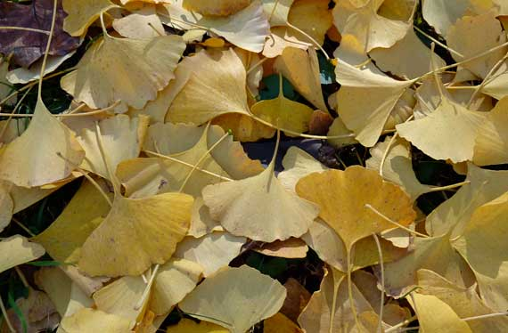 ginko_leaves_on_ground.jpg