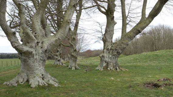 Gnarly trees king barrows