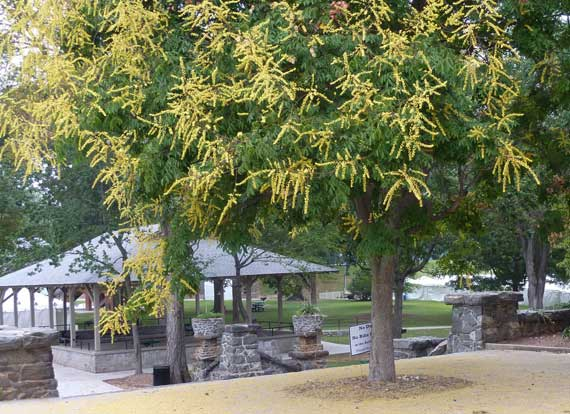 golden_rain_tree_pied_pk.jpg