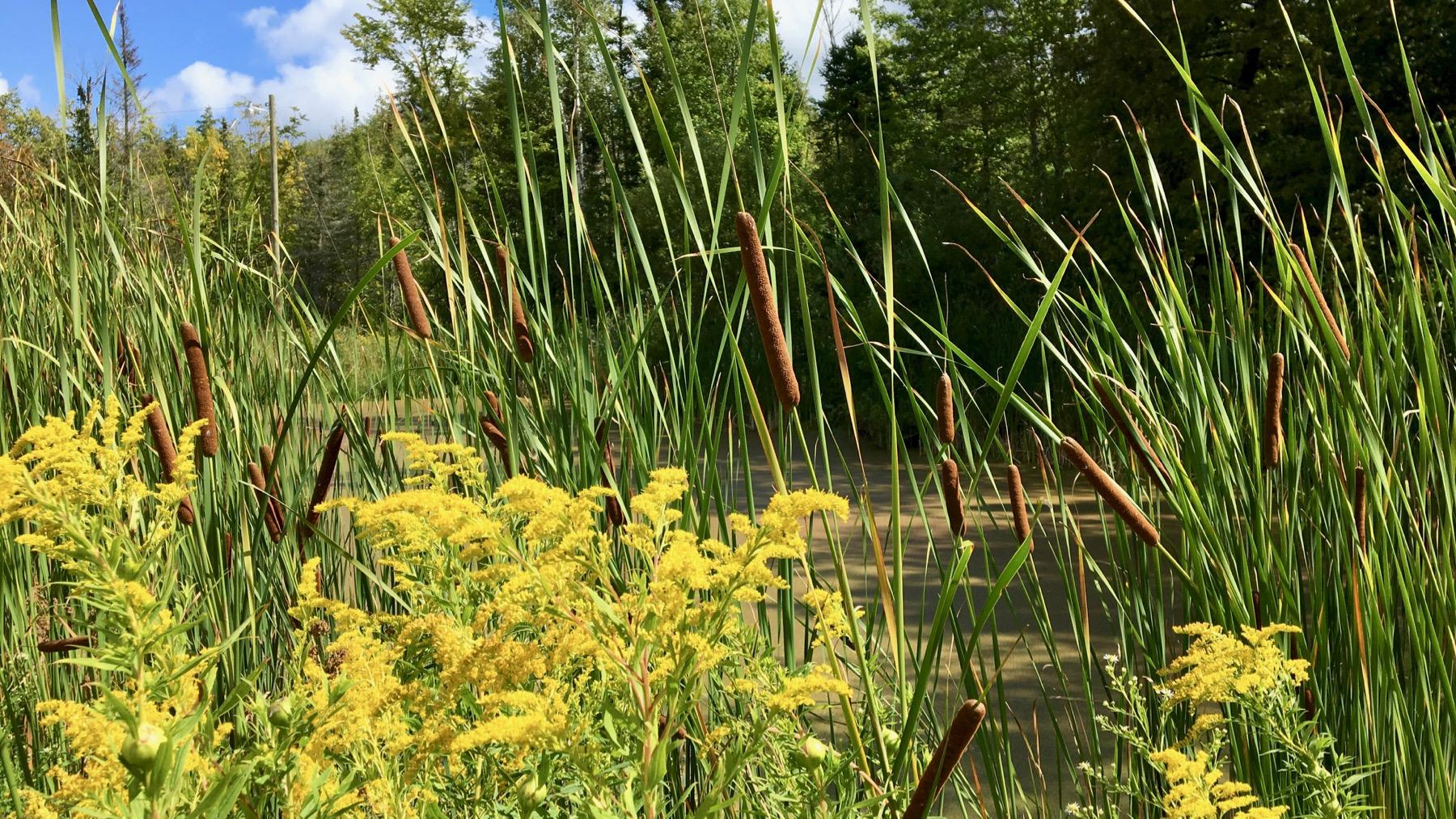 Goldenrod cattails