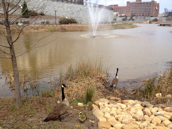 Goose family at H4WP lake