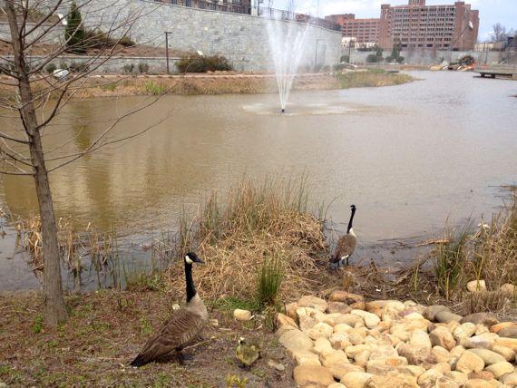Goose family at H4WP lake