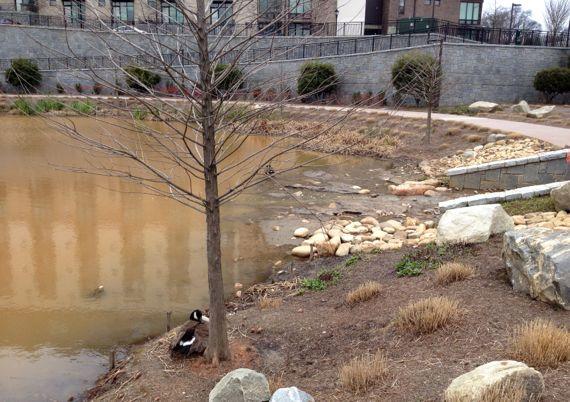 Goose pair 4th ward lake