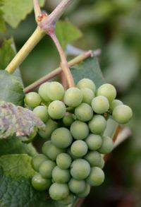 Grapes green on vine Champagne