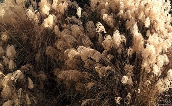 Grass seedheads aglow