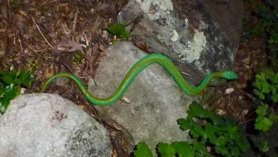 Greensnake on the run