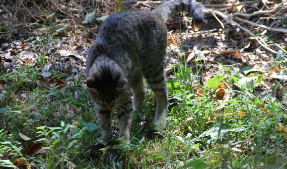 Grey tiger toying chipmunk