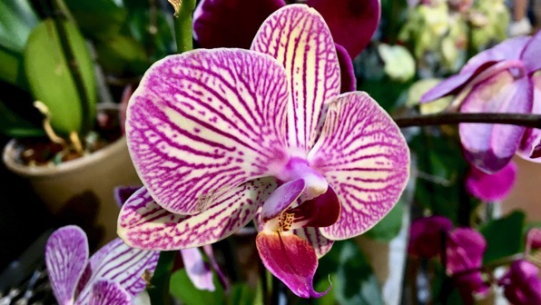 Groc orchid