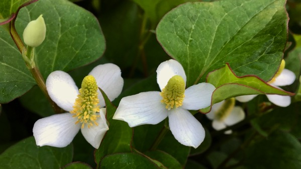 Groundcover flower