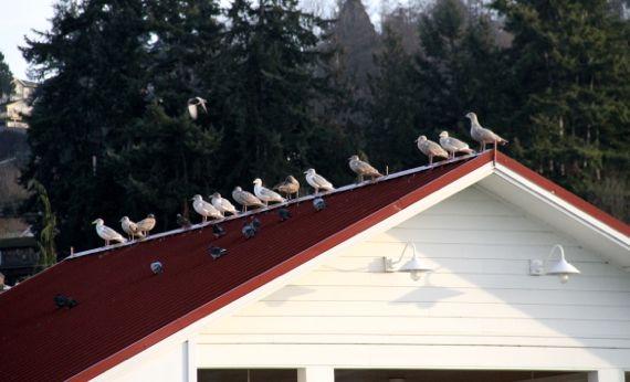 Gull pigeon sorting