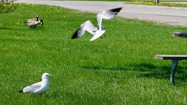 Gulls n geese