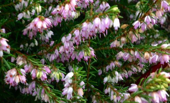 Heather blooms