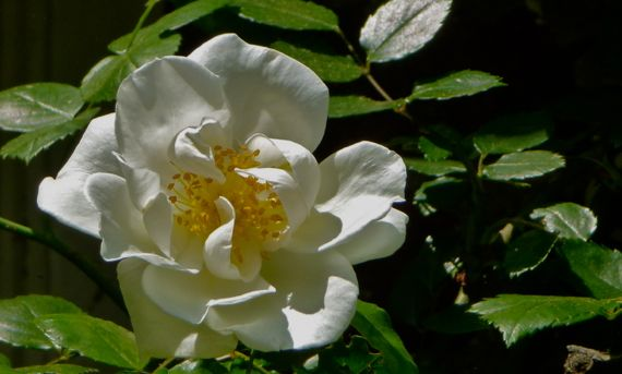 Heirloom wandering rose white