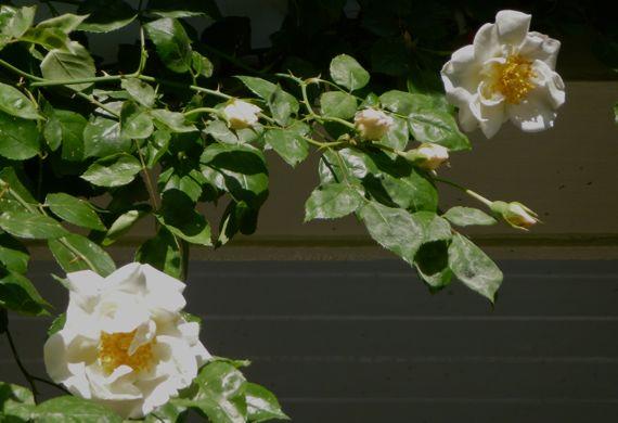 Heritage rose abloom 2011