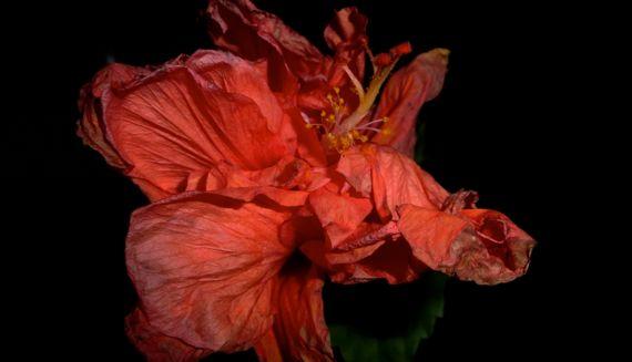 Hibiscus de burcham