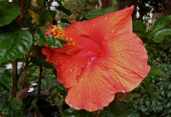 Hibiscus outdoors