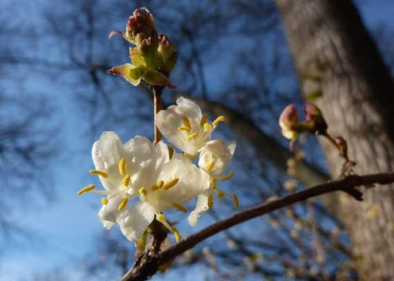 honeysuckle_abloom_in_spring.jpg