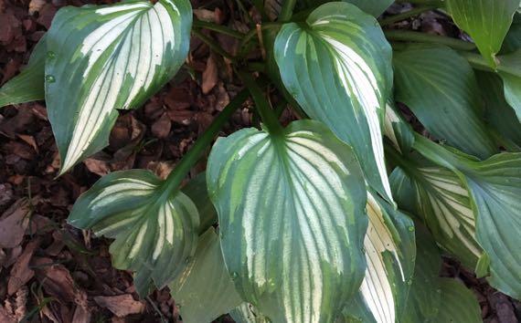 Hosta bicolor leaves