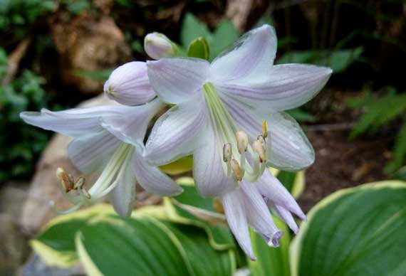 hostas_a_bloom.jpg