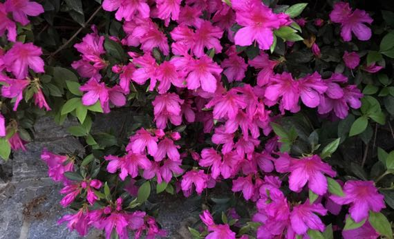Hot pink azalea cascade