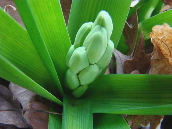 hyacinth_buds_CU.jpg