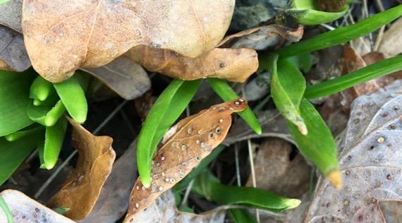 Hyacinth emergent