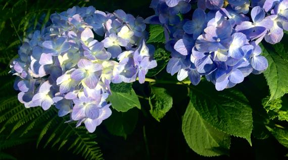 Hydrangea blue tinted