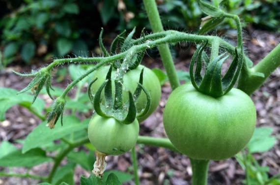 Insecty green tomatoes