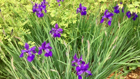 Iris purple