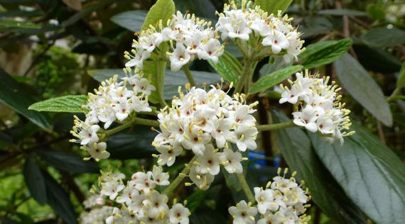 Is it a viburnum dunno