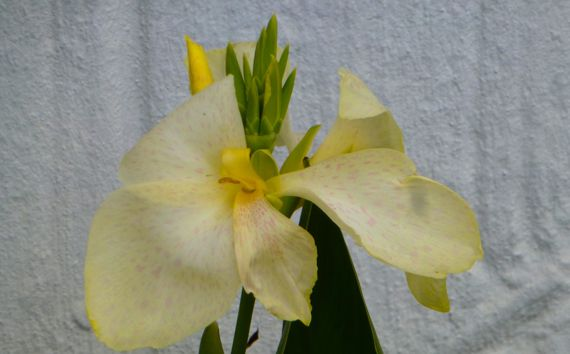 Is it a whitish canna lily huh
