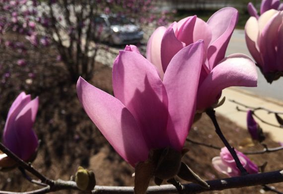 Japanese magnolia backlit