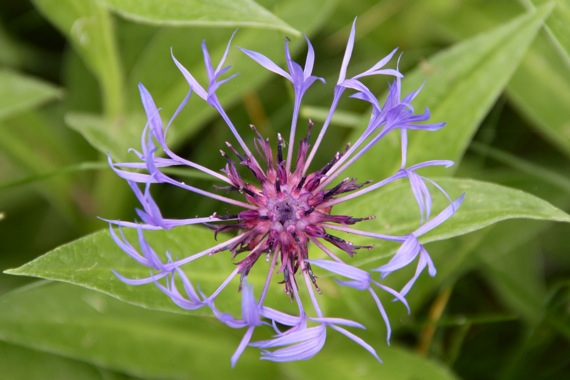 knapweed_or_knotweed_I_think.jpg