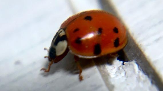 Lady doodle bug