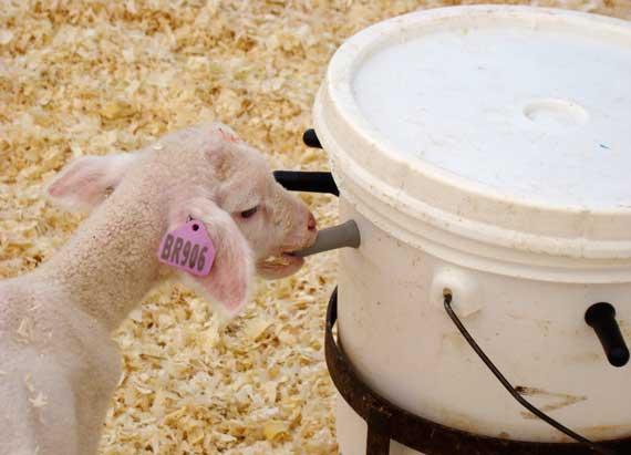 lamb_eats.jpg