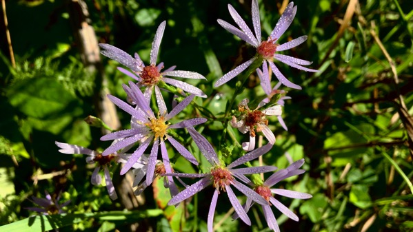 Lavender aster type
