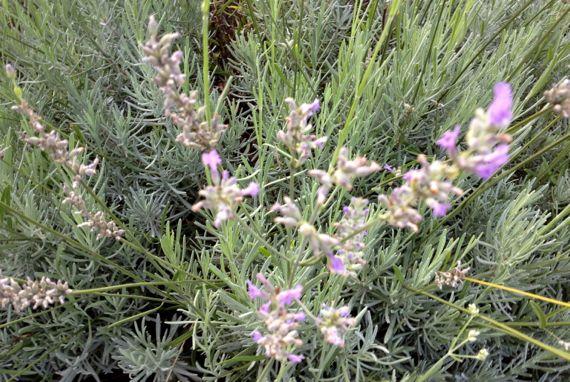Lavender blooms n veg